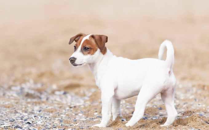 Jack Russell Terrier Venta