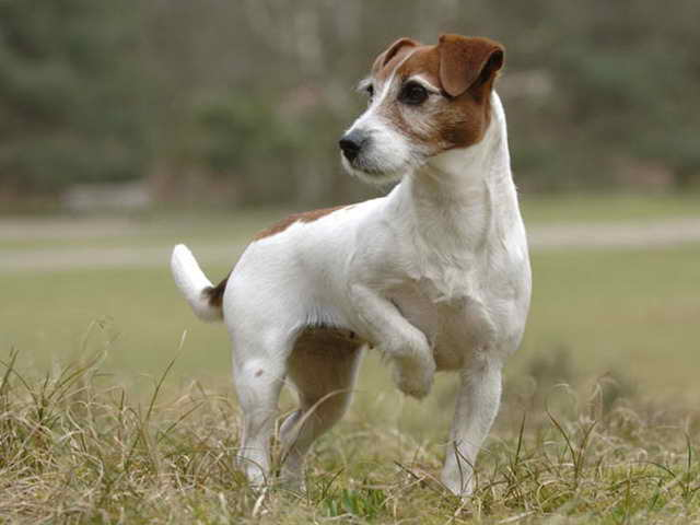 Jack Russell Terriers Rescue