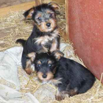 Jack Russell Yorkie Mix Puppies For Sale