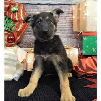 Kansas City German Shepherd Puppies