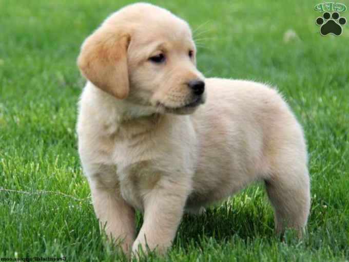 Lab And Golden Retriever Mix Puppies For Sale