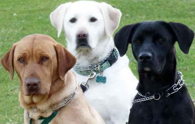 Labrador Adopt