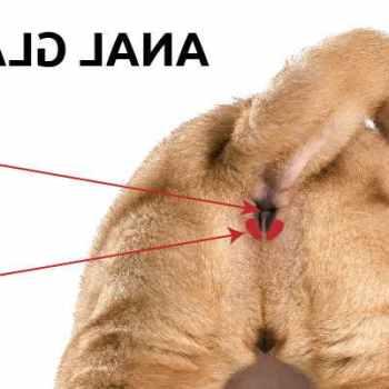 Labrador Anal Gland