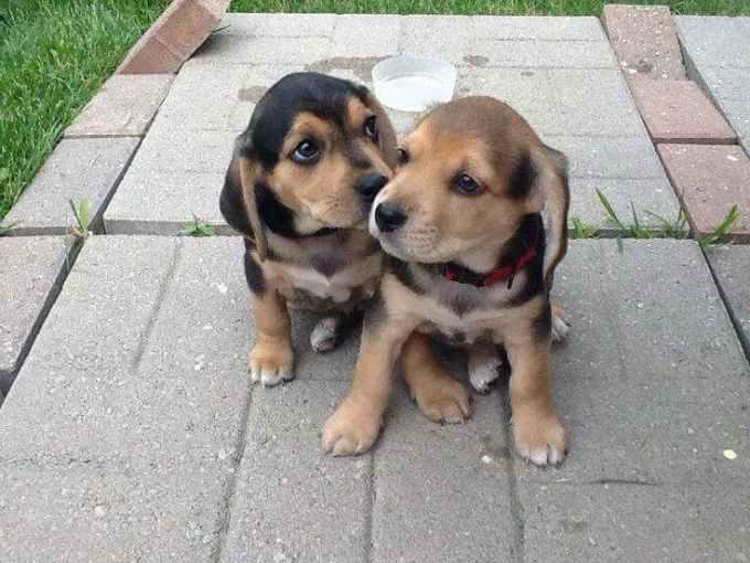 Labrador Beagle Mix For Sale