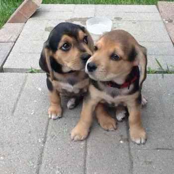 Labrador Beagle Mix Puppies For Sale