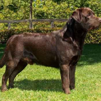 Labrador Breeder Southern California