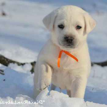 Labrador Breeders In Indiana
