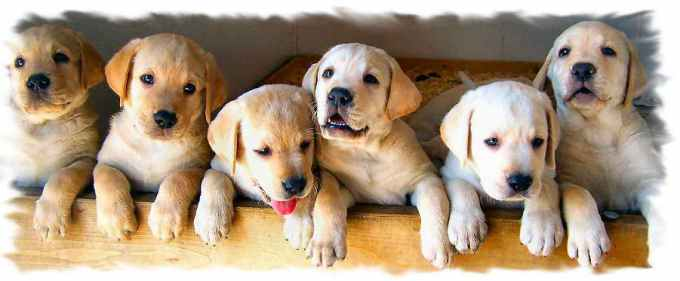 Labrador Breeders In Md