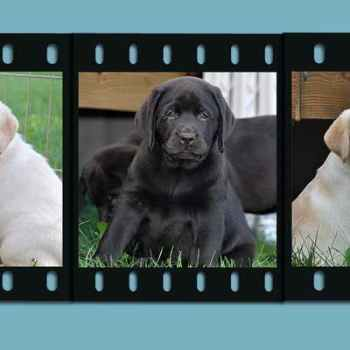 Labrador Breeders In New England