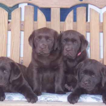 Labrador Breeders In South Florida