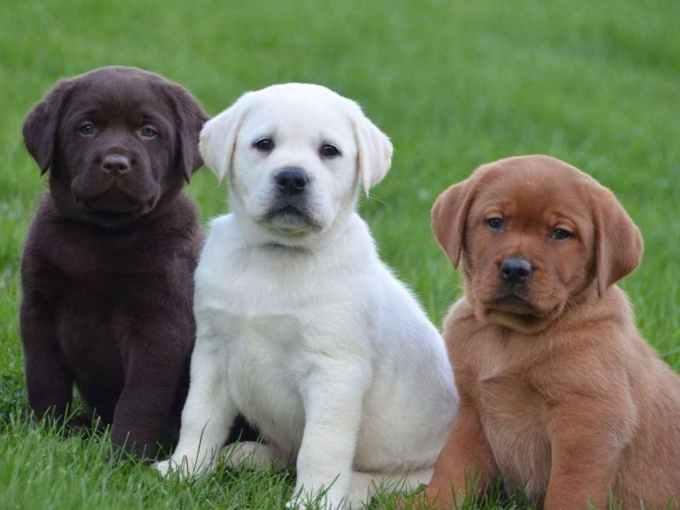 Labrador Breeders Near Me