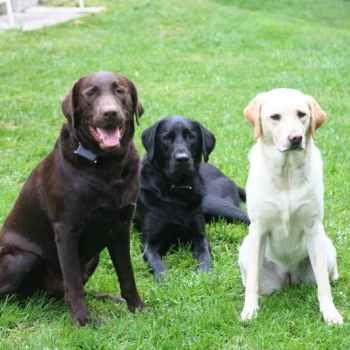 Labrador Breeders Ontario