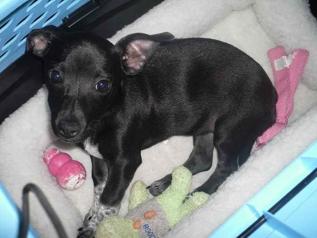 Labrador Chihuahua Mix Puppies