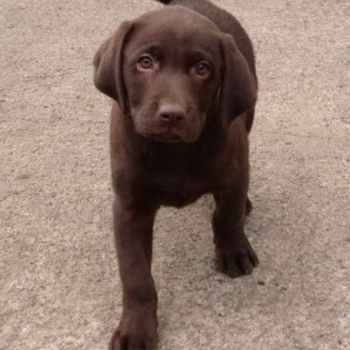 Labrador Chocolate Puppies For Sale