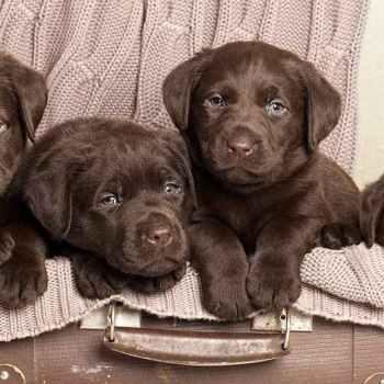 Labrador Chocolate Puppy