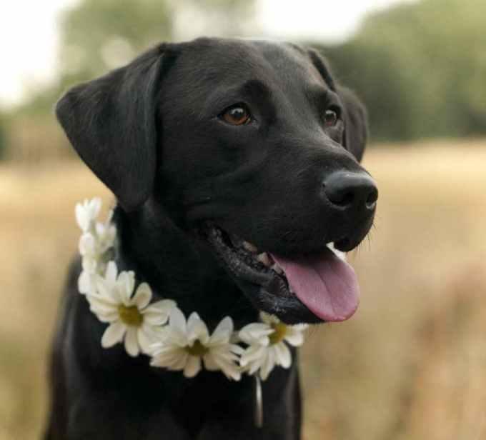 Labrador Companion