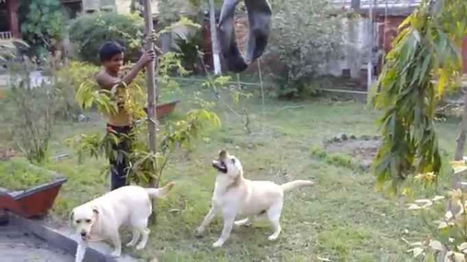 Labrador Dog Attacks