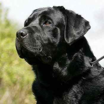 Labrador Dog Black Puppy Price