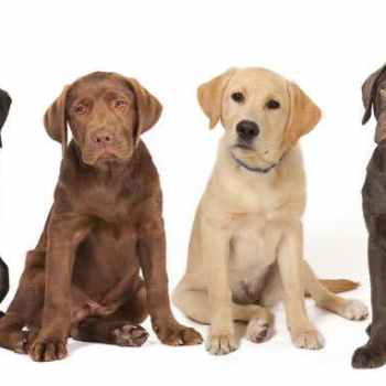 Labrador Dog Breeder
