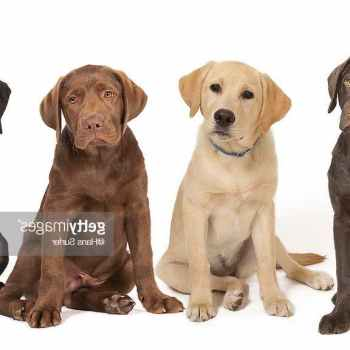 Labrador Dog Breeders