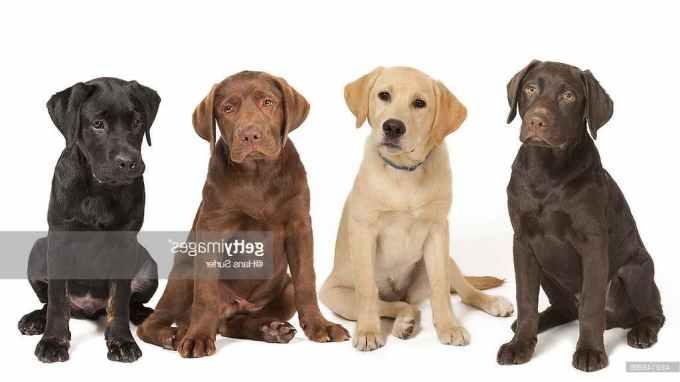 Labrador Dog Breeders
