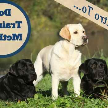 Labrador Dog Trainers