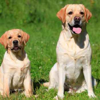 Labrador Dogs Training