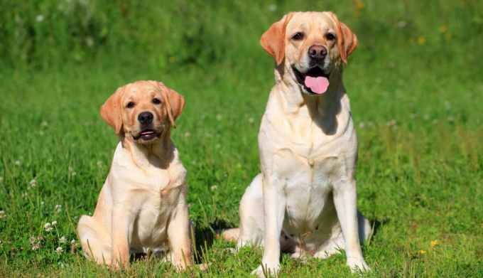 Labrador Dogs Training