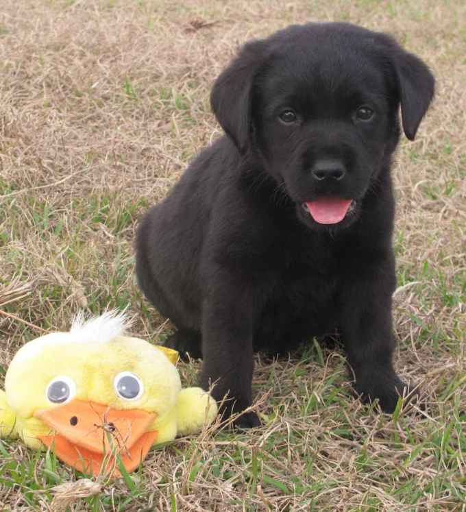 Labrador For Sale In Florida
