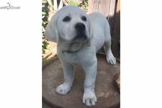 Labrador For Sale Sacramento