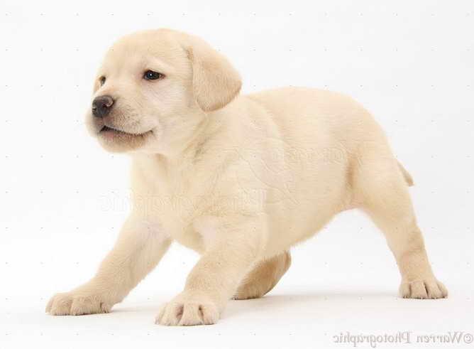 Labrador Free