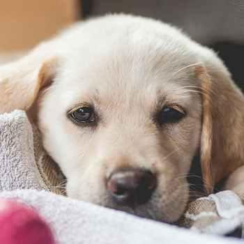 Labrador Golden Mix