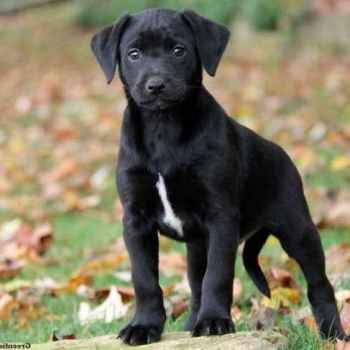 Labrador Great Dane Mix Puppies For Sale