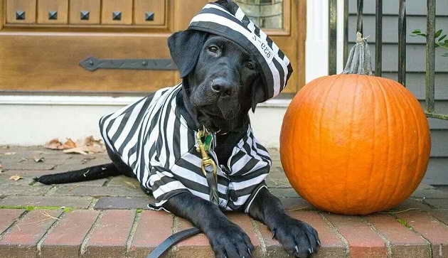 Labrador Halloween Costumes