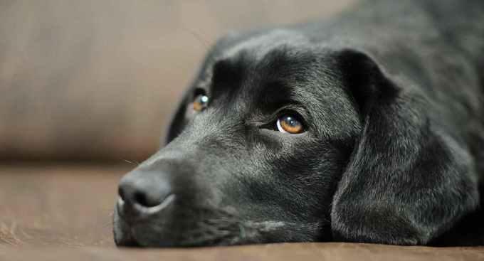 Labrador Health Issues