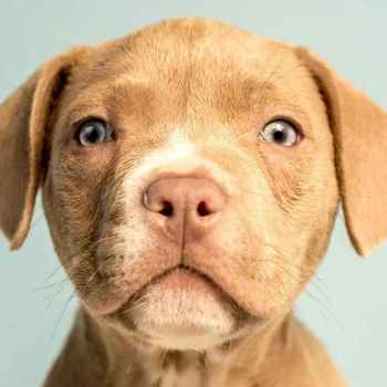 Labrador Mix Dog