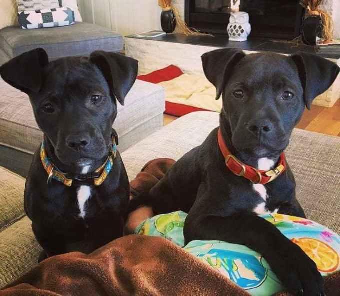 Labrador Pitbull Mix Puppies For Sale