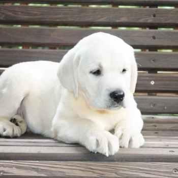 Labrador Puppies Alabama