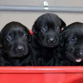 Labrador Puppies Atlanta