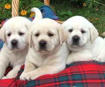Labrador Puppies Austin