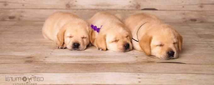 Labrador Puppies Ca