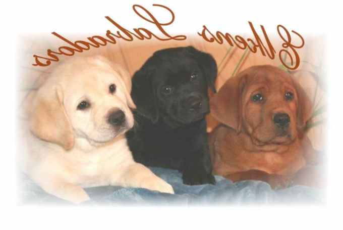 Labrador Puppies California