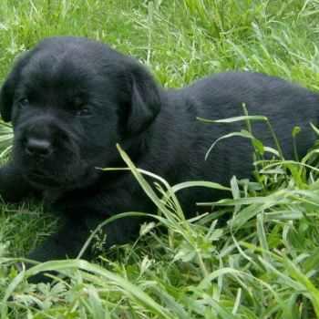 Labrador Puppies Colorado