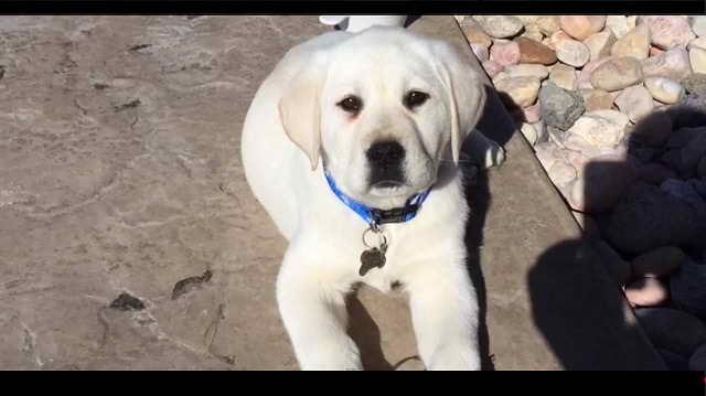 Labrador Puppies Craigslist