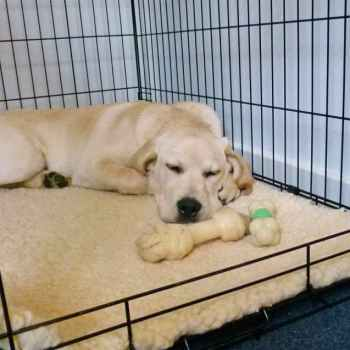 Labrador Puppy Crate Training