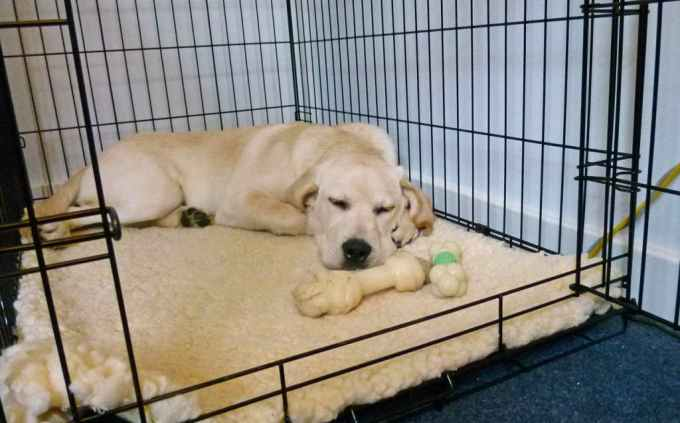 Labrador Puppy Crate Training