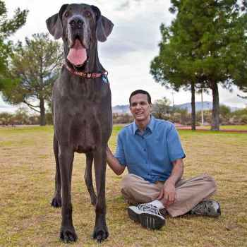 Largest Great Dane Breed