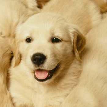 Live Puppy Cam Golden Retriever