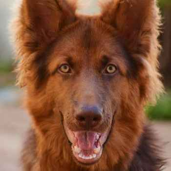 Liver Colored German Shepherd For Sale