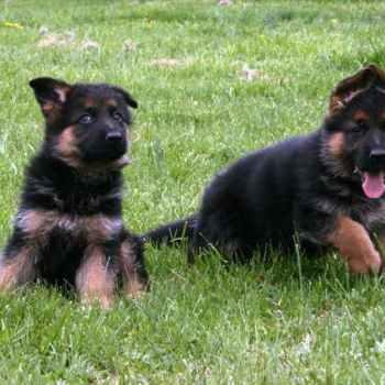 Local German Shepherd Puppies For Sale
